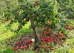 Een appelboom kiezen -  deel 1: de onderstam
