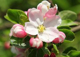 Een appelboom kiezen -  deel 2: bestuiving