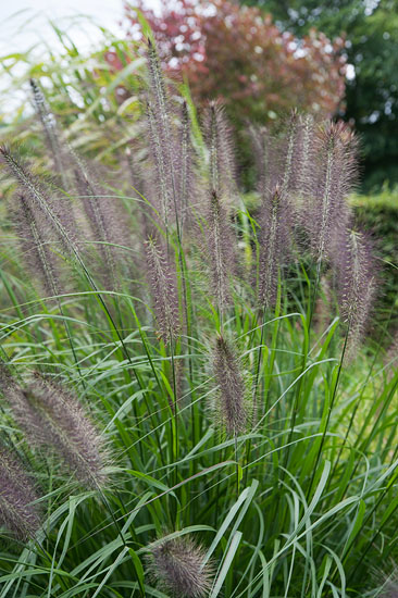 Pennisetum viridiscens 'Black Beauty'