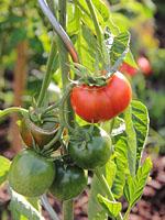 tomaten vs phytophtora 2. Black Bedroom Furniture Sets. Home Design Ideas